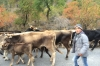 Cattle being moved from Summer pastures
