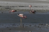 Flamingos on Lake Hedionda BO