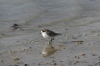 Plovers on Lake Hedionda BO