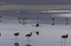 Flamingoes. Laguna Colorada BO