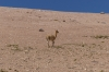 Vicuña. The Bolivian High Desert