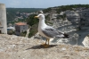 Seagull with an attitude