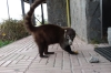 Coati (racoon) feeding on treats at the Boquete Visitor's Centre