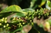 Young coffee berries. Finca Dos Jefes Coffee Farm