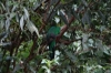 A bad shot of a Quetzal? Cascada Escondida (Waterfall Trail)