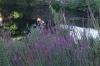 Lavendar at Milford Pond