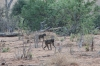 Baboons, Chobe National Park, Botswana