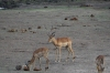 Impalas on the river flat, Chobe National Park, Botswana