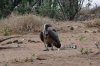 White Necked Vultures clean up some carrion, Chobe National Park, Botswana