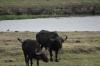 Elderly Buffaloes, Chobe National Park, Botswana