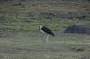 Malibou Stork, Chobe National Park, Botswana
