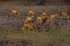 Pregnant Impalas with buck, Chobe National Park, Botswana