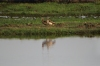 Egyptian Geese, Chobe National Park, Botswana
