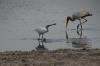 Spoonbill and Saddle Beak Stork busy fishing, Chobe National Park, Botswana