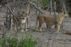 Young male and female lions, Chobe National Park, Botswana