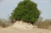 Woolly Caper Bush growing on a termite mound, Chobe National Park, Botswana
