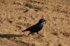 Cape Glossy Starling, Chobe National Park, Botswana
