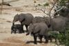 Elephants bathe then take a dust shower by the river, Chobe National Park, Botswana