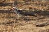 Hornbill, Chobe National Park, Botswana