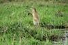 African Jakana (Jesus Bird) , Chobe National Park, Botswana