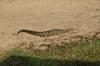 Young crocodile, Chobe National Park, Botswana