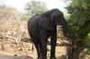 Elephant eats then crosses the river, Chobe National Park, Botswana
