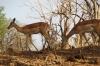 Impala, Chobe National Park, Botswana