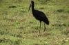 Open Beak Stork, Chobe National Park, Botswana