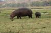 Mum and bub hippopotamus, Chobe National Park, Botswana