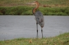 Holier Heron, Chobe National Park, Botswana