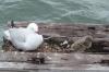Mama seagull and chick, Busselton Jetty WA