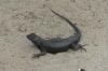 Lizard in Del Mar on Hwy 1 CA