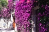 Bouganvillea in Capri