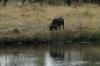 Buffalo opposite Camp Kwando, Namibia