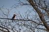 Malachite Kingfisher, Kwando River, Namibia/Botswana