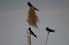 Whire-rumped Swifts, Kwando River, Namibia/Botswana