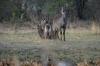 Waterbucks, Kwando River, Namibia/Botswana