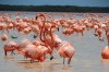 Flamingoes on Ria Celestun