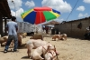 Livestock market, mostly pigs. Market day in Chichicastenango