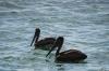 Pelicans at the waterfront, Cienfuegos