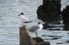 Birds on the waterfront, Cienfuegos CU
