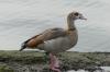 A duck. Oulton Broad near Lowestoft UK
