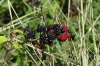 Autumn berries along the walk at Burgh Castle, Norfolk UK
