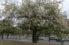 Boab tree in Bicentennial Park, Córdoba AR