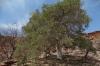 Boscia albitrunca (Shepherd's tree), Twyfelfontein, Namibia