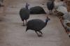 Guineafowls. Rustig Toko Lodge, Namibia