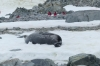 Mouting seal at George's Point, Antarctica