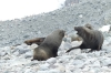 Seals at George's Point, Antarctica