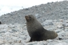 Seal at George's Point, Antarctica