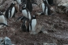The little penguin and the Skuas, George's Point, Antarctica